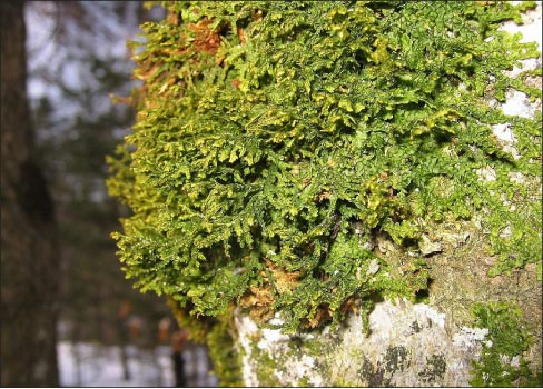 Apparently, non-rolling stones not only gather moss, but grow liverwort as well, provided you feed it correctly.
